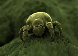 A magnified view of a dust mite