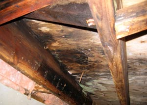 A rotting crawl space floor joist