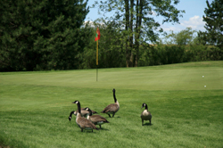 Geeses on a Golf Course