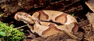 copperhead northern