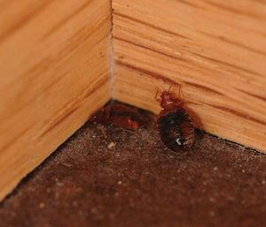 Bed bugs along baseboard in corner of room