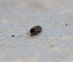 Pillbugs and Sowbugs need to pay rent to live in your home! Just kidding... they shouldn't be there at all and Cowleys Pest Services can help evict them for good!