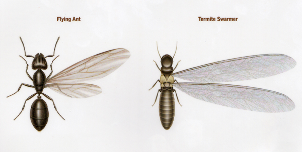 An important distinction for homeowners is whether the insect spotted  inside their house is a winged carpenter ant or a winged termite. Carpenter Ant Control in Mercer  Ocean  Monmouth  Middlesex County  NJ