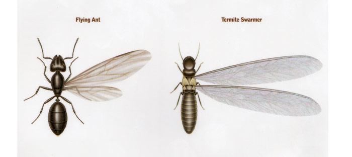 Termite versus flying ant