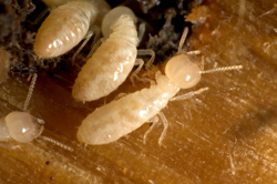 Closeup of a termite