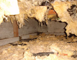 mold crawl space insulation dripping off the floor joist